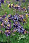 AQUILEGIA vulgaris Winky-Series 'Winky Double Dark-Blue-White' Portion(s)