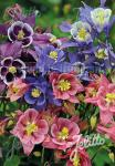 AQUILEGIA vulgaris Winky-Series 'Winky Single Formula Mix' Portion(s)