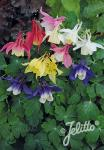 AQUILEGIA flabellata Spring Magic-Series 'Spring Magic Mix' Portion(s)