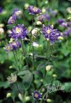 AQUILEGIA vulgaris Clementine-Series 'Clementine Blue' Portion(s)