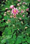 AQUILEGIA vulgaris Clementine-Series 'Clementine Rose' Portion(s)