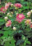 AQUILEGIA vulgaris Clementine-Series 'Clementine Salmon Rose' Portion(s)