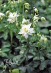AQUILEGIA vulgaris Clementine-Series 'Clementine White' Portion(s)