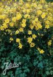 AQUILEGIA chrysantha  'Yellow Queen' Portion(s)