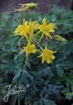 AQUILEGIA chrysantha  Denver Gold® Portion(en)