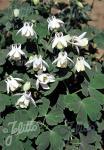 AQUILEGIA flabellata var. pumila f. alba   Portion(s)