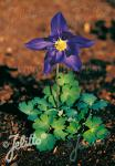 AQUILEGIA glandulosa   Portion(en)