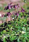 AQUILEGIA rockii   Portion(s)