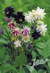 AQUILEGIA vulgaris var. stellata plena Barlow-Serie 'Barlow Choice Mix' Portion(en)