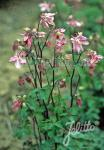 AQUILEGIA vulgaris  'Heidi' Portion(en)