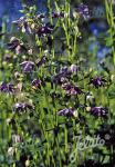 AQUILEGIA vulgaris var. stellata plena Barlow-Series 'Christa … Portion(s)