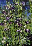 AQUILEGIA vulgaris var. stellata plena Barlow-Series 'Christa Barlow' Portion(s)