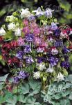 AQUILEGIA vulgaris  'Grandmothers Garden' Portion(en)