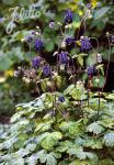 AQUILEGIA vulgaris  'Leprechaun Gold' Portion(en)