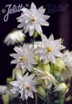 AQUILEGIA vulgaris var. stellata plena Barlow-Series 'White … Portion(s)