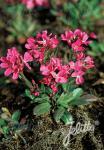 ARABIS blepharophylla  'Frühlingszauber' Portion(s)