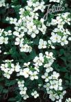 ARABIS caucasica Compacta  'Schneeball' Portion(en)