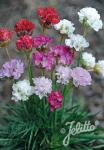 ARMERIA Maritima-Hybr.  Ornament®' Portion(s)