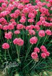 ARMERIA maritima  'Splendens' Portion(en)