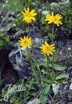 ARNICA montana   Portion(s)