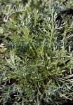 ARTEMISIA laxa   Portion(en)