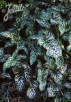 ARUM italicum ssp. italicum   Portion(s)