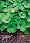 ASARUM canadense   Portion(en)