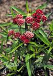 ASCLEPIAS incarnata   Portion(s)