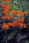 Perennial Plant of the Year in North America 2017