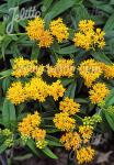 ASCLEPIAS tuberosa  'Hello Yellow' Portion(en)