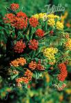 ASCLEPIAS tuberosa  'Gay Butterflies' Portion(s)