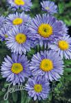 ASTER alpinus  'Goliath' Portion(en)