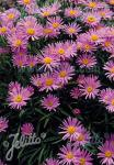 ASTER alpinus  'Happy End' Portion(en)