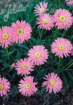 ASTER alpinus  'Pinkie' Portion(en)