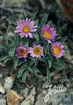 ASTER coloradoensis   Portion(en)