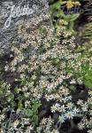ASTER divaricatus   Portion(en)