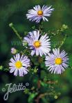 ASTER laevis   Portion(s)
