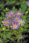 ASTER spectabilis   Portion(s)