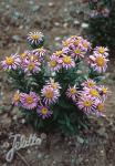 ASTER pyrenaeus   Portion(s)
