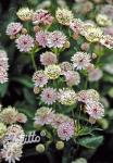 ASTRANTIA major   Portion(en)