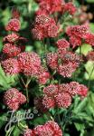 ASTRANTIA Major-Hybr.  'Rosensinfonie' Portion(s)