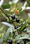 ATROPA bella-donna   Portion(en)