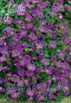 AUBRIETA x cultorum  'Cascade Blue' Portion(s)