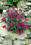 AUBRIETA x cultorum  'Cascade Red' Portion(s)