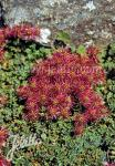 ACAENA microphylla   Seeds
