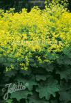 ALCHEMILLA mollis  'Select' Seeds