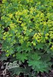 ALCHEMILLA sericata  'Gold Strike' Seeds