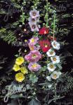 ALCEA Ficifolia-Hybr.   Seeds