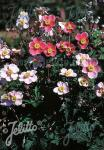 ANEMONE hupehensis   Seeds