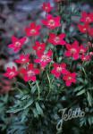 ANEMONE multifida  'Rubra' Seeds